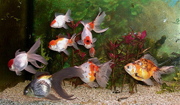 Teich schleierschwaenze for Aquarium fische im teich